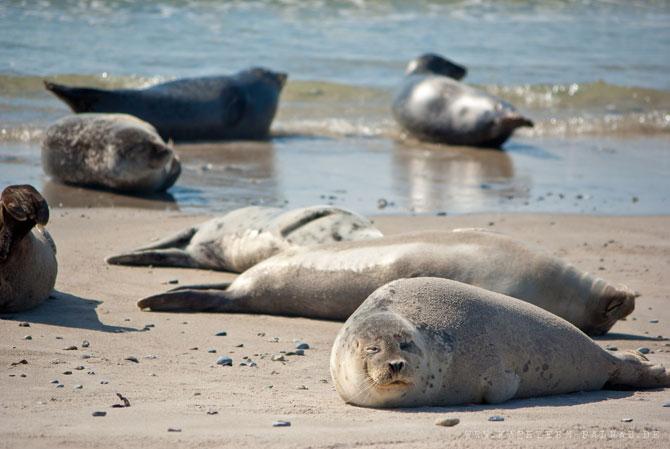 Seehunde an der Südseite der Düne