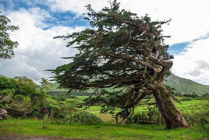 Uralter Baum auf dem Gelände von Kylemore
