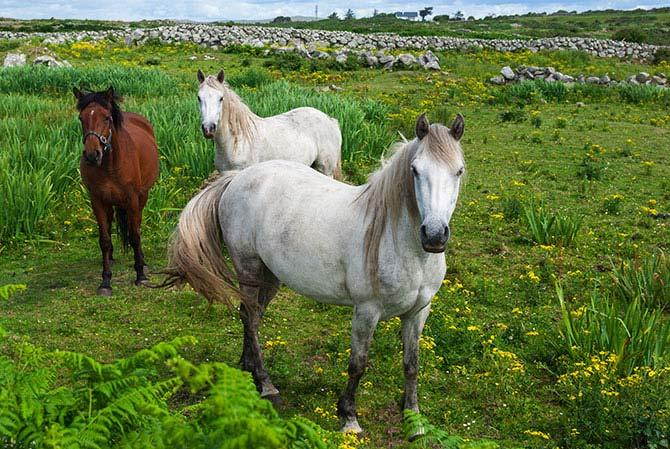 Connemara-Ponys
