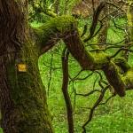 Knorriger, mit Moos bewachsener Baum