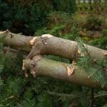 Verwachsene Baumspitzen