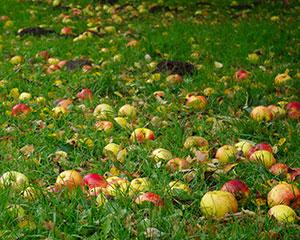 Äpfel auf einer natürlichen Streuobstwiese